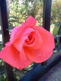 rosebud Immagine Stock
