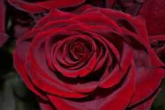 rosebud Royalty-vrije Stock Afbeeldingen