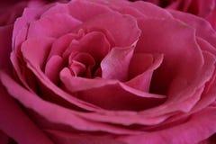 rosebud Stock Afbeelding