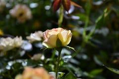 rosebud Images libres de droits