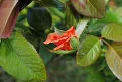 rosebud Royalty-vrije Stock Foto's
