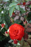 rosebud Royaltyfria Bilder