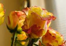 rosebud Fotografia Stock