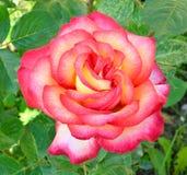 rosebud Photo stock