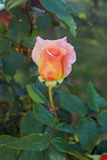 rosebud Στοκ Εικόνες