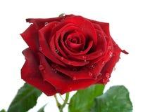 rosebud Obraz Stock