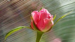 rosebud стоковая фотография rf