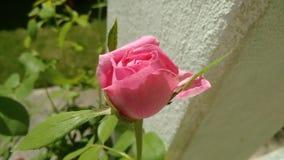 rosebud Lizenzfreies Stockfoto