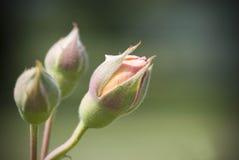 rosebud Imagem de Stock