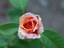 Rosebud alaranjado bonito nas horas de verão foto de stock royalty free