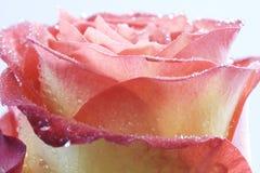 Rosebud bagnato Fotografie Stock