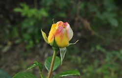 Rosebud blooms Royalty Free Stock Photography