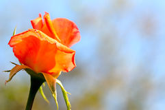 Rosebud and blue sky Royalty Free Stock Photo