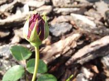 Rosebud Royalty Free Stock Photo