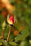 Rosebud Stock Photo