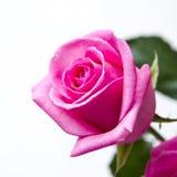 Rosebud closeup Royalty Free Stock Images