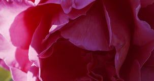 Rosebud cor-de-rosa no jardim vídeos de arquivo