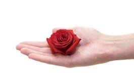 Rosebud da terra arrendada da mão fotografia de stock royalty free