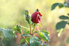 Rosebud with dew drops Stock Images