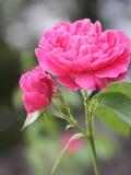 Rosebud en Roze nam toe Stock Afbeeldingen