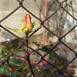 Rosebud escaping. An autumn rosebud getting out through the wire fence Royalty Free Stock Images