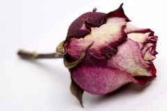 Rosebud Faded. Violet dried rosebud, faded and old. Still beautiful flower Royalty Free Stock Image