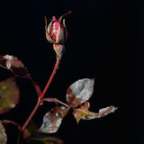 Rosebud frozen Royalty Free Stock Images