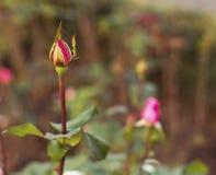 Rosebud gefangen im Spinnennetz Stockbilder