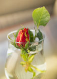 Rosebud in glass of water Stock Images