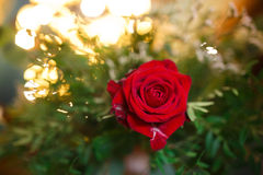 Rosebud in the green foliage Royalty Free Stock Photography