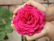 Rosebud i händer Arkivbilder