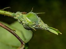 Rosebud met aphids royalty-vrije stock foto
