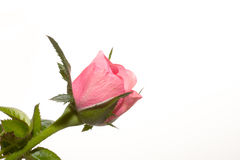 Free Rosebud On The White Background Royalty Free Stock Photos - 27094668