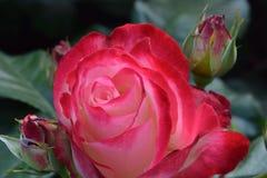 Rosebud 01 Parfait вишни Стоковая Фотография