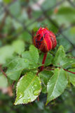 Rosebud in the rain. Red rosebud in the rain outside the fence Royalty Free Stock Image