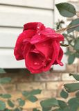 Rosebud With Raindrops. Red rosebud starting to bloom on rose bush. Rose bushes are fairly easy to grow. This rose bush still has beautiful roses through mid to stock photo