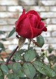 Rosebud With Raindrops. Red rosebud starting to bloom on rose bush. Rose bushes are fairly easy to grow. This rose bush still has beautiful roses through mid to stock photos