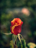 Rosebud. Red and orange rosebud on stem with natural green background Stock Photo