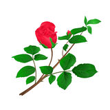 Rosebud red  stem with leaves and blossoms vintage vector. Illustration Stock Photography