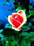 Rosebud stock images