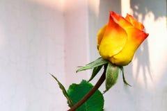 Rosebud sbocciante rosa giallo fotografie stock libere da diritti