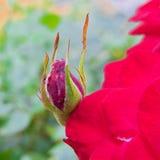 Rosebuden började att torka upp Arkivfoto