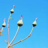 Rosebuds Imagem de Stock Royalty Free