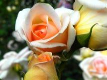 rosebuds Image stock