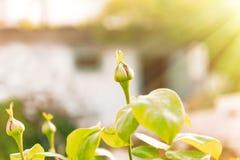 rosebuds Стоковая Фотография RF