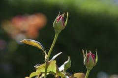 Rosebuds bei Merrick Rose Garden Lizenzfreies Stockfoto