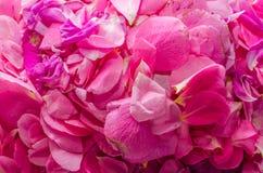Rosebuds cor-de-rosa Imagem de Stock Royalty Free
