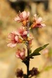 Rosebuds do pêssego em um ramo Imagens de Stock