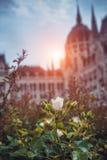 Rosebuds framme av parlamentet Budapest, ljus inställningssol Royaltyfri Bild
