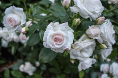 Rosebush 001 ветви Стоковые Изображения RF